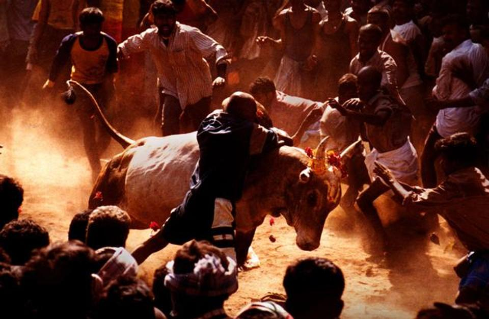Jallikattu Protests: Right to Animal Cruelty Now?